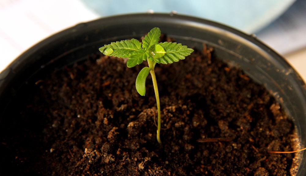 como plantar cannabis