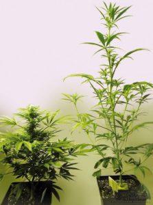 Cannabis índica e sativa