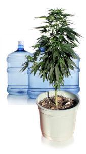 Colheita de cannabis - Flushing