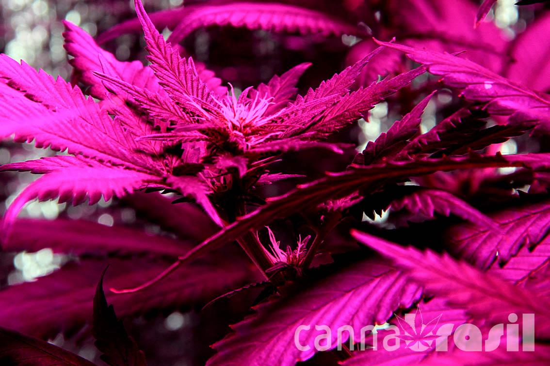 Floração de cannabis 14 dias
