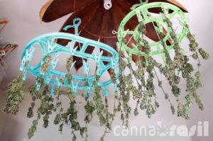 Secagem de cannabis